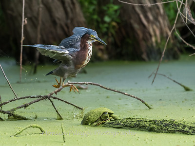 Green Heron 19 Aug 2018-4106
