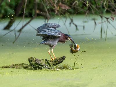Green Heron 19 Aug 2018-4117