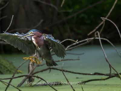 Green Heron 19 Aug 2018-4125