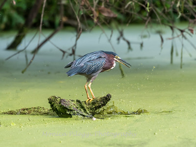 Green Heron 19 Aug 2018-4123
