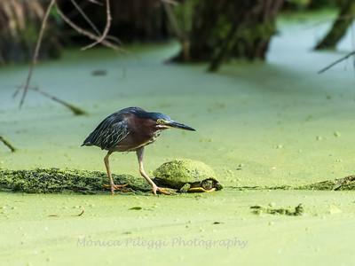 Green Heron 19 Aug 2018-4111