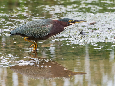 Green Heron Font HIll 22 Sep 2018-8334