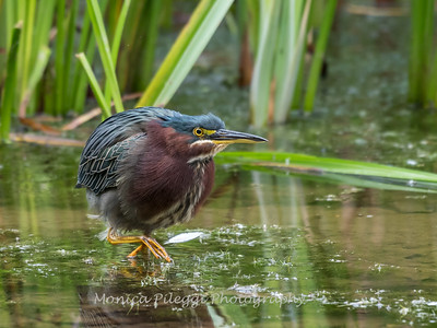 Green Heron Font HIll 22 Sep 2018-8296