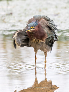 Green Heron Font HIll 22 Sep 2018-8393