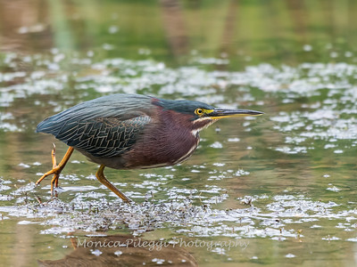 Green Heron Font HIll 22 Sep 2018-8321