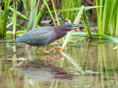 Green Heron Font HIll 22 Sep 2018-8239