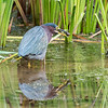 Green Heron Font HIll 22 Sep 2018-8205