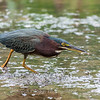 Green Heron Font HIll 22 Sep 2018-8306