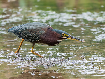 Green Heron Font HIll 22 Sep 2018-8307
