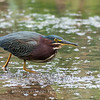 Green Heron Font HIll 22 Sep 2018-8315