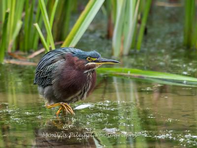 Green Heron Font HIll 22 Sep 2018-8295