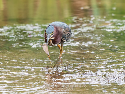 Green Heron Font HIll 22 Sep 2018-8166