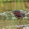 Green Heron Font HIll 22 Sep 2018-8180