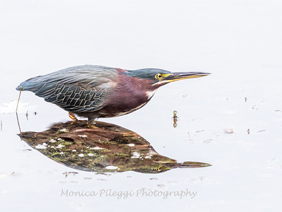 Green Heron Font HIll 22 Sep 2018-8434