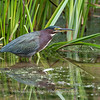 Green Heron Font HIll 22 Sep 2018-8277