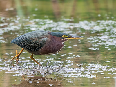 Green Heron Font HIll 22 Sep 2018-8319