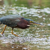 Green Heron Font HIll 22 Sep 2018-8308