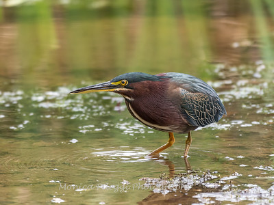 Green Heron Font HIll 22 Sep 2018-8181
