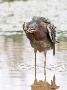 Green Heron Font HIll 22 Sep 2018-8390