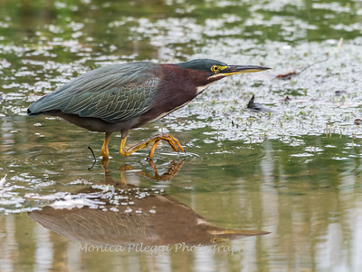Green Heron Font HIll 22 Sep 2018-8336