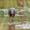Green Heron Font HIll 22 Sep 2018-8174