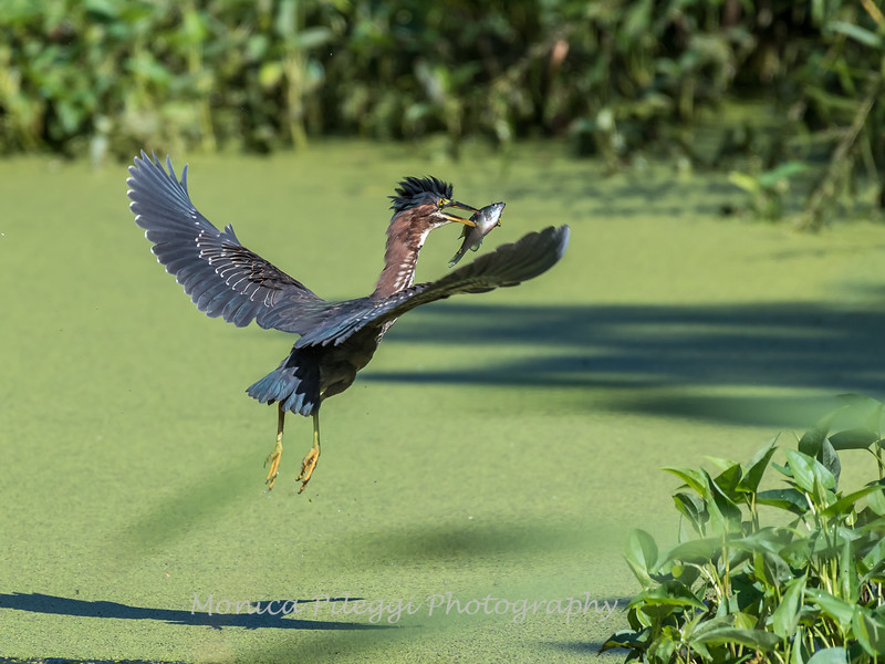 Green Herons 23 Aug 2018-4761