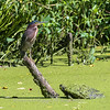Green Herons 23 Aug 2018-4720