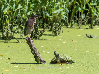 Green Herons 23 Aug 2018-4783