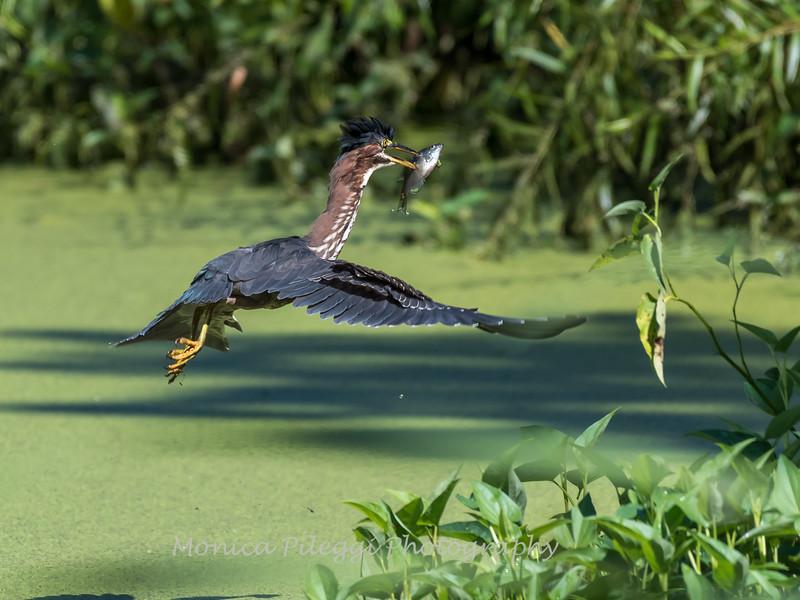 Green Herons 23 Aug 2018-4763