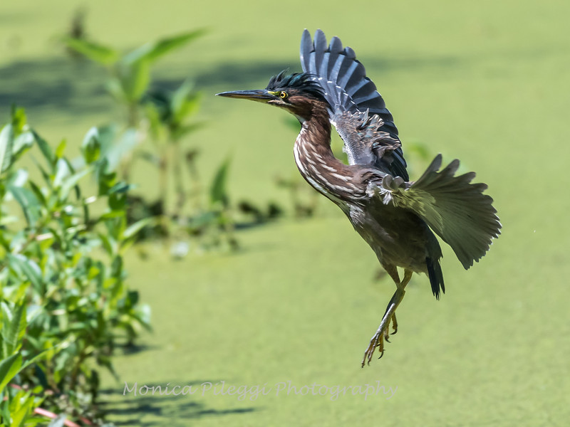 Green Herons 23 Aug 2018-4895