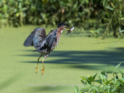 Green Herons 23 Aug 2018-4762