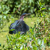 Green Herons 23 Aug 2018-4880