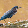 Green Heron 27 July 2018-2193