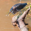 Green Heron 27 July 2018-2226