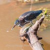Green Heron 27 July 2018-2222