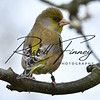 Greenfinch russellfinneyphotography (8)