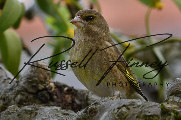 Greenfinch russellfinneyphotography (5)