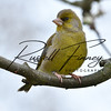 Greenfinch russellfinneyphotography (9)
