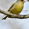 Greenfinch russellfinneyphotography (1)