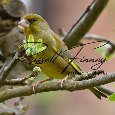 Greenfinch russellfinneyphotography (10)