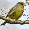 Greenfinch russellfinneyphotography (2)