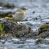 Grey Wagtail russellfinneyphotography (1)