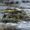 Grey Wagtail russellfinneyphotography (3)