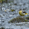 Grey Wagtail russellfinneyphotography (6)