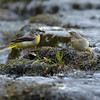 Grey Wagtail russellfinneyphotography (2)