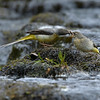 Grey Wagtail russellfinneyphotography (4)