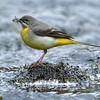 Grey Wagtail russellfinneyphotography (7)