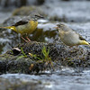 Grey Wagtail russellfinneyphotography (5)