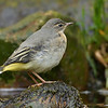 Grey Wagtail russellfinneyphotography (8)
