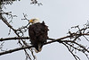 Bald eagle in Homer.